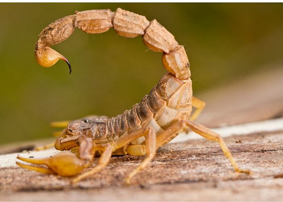 How to Prevent Scorpions from Getting in Your Bed Guide